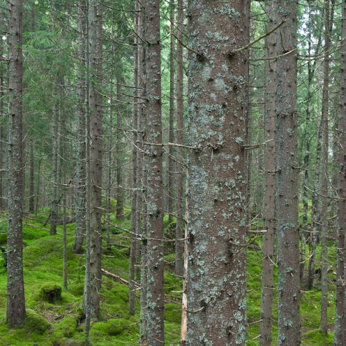 6DS_2348-Norway-Forest-Wild-Wood-Green-Moss-IV