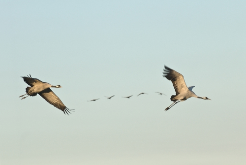 A00_4025-birds-cranes-in-flight-IIB