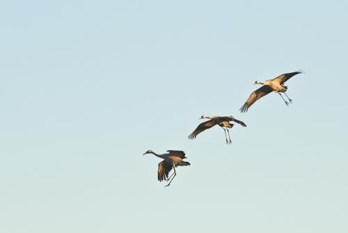 A00_4066-birds-cranes-in-flight-III