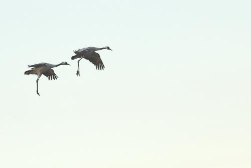 A00_4070-birds-cranes-in-flight-IV