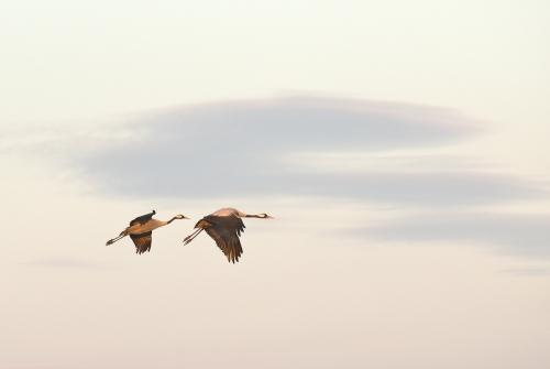 A00_4193-birds-cranes-in-flight-I