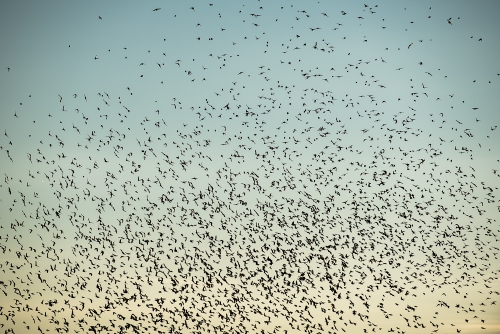 cga_2359-swarming-starlings-at-dusk-norway