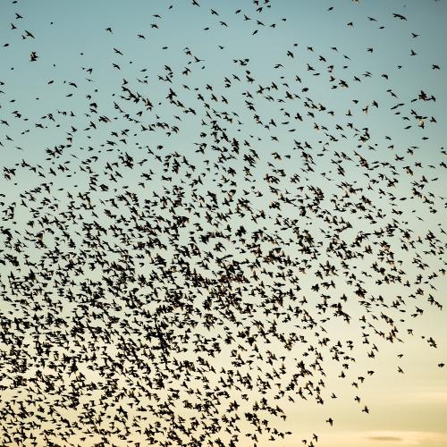 cga_2360-swarming-starlings-at-dusk-norway