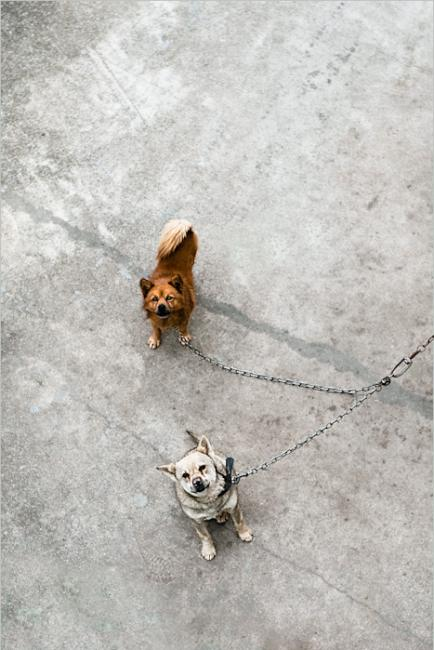 Two dogs chained together