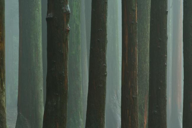 Tree trunks in greenish mist, Boseong, Korea