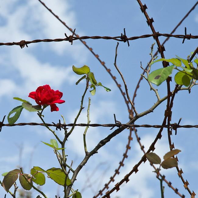 Red rose and barbed wire