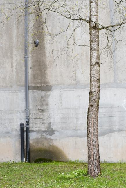 Birch tree and concrete wall