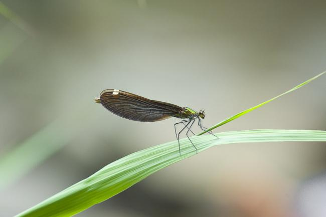 Damselfly, Korea