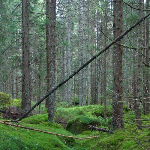 6DS_2362-Norway-Forest-Wild-Wood-Green-Moss-I