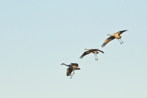 A00_4066-birds-cranes-in-flight-III
