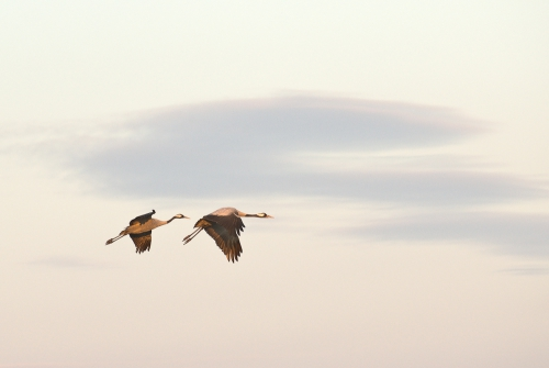 A00_4193-birds-cranes-in-flight-I