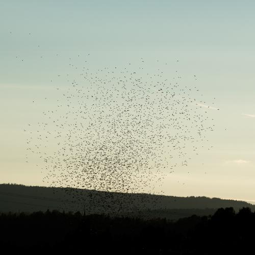 cga_2291-swarming-starlings-at-dusk-norway