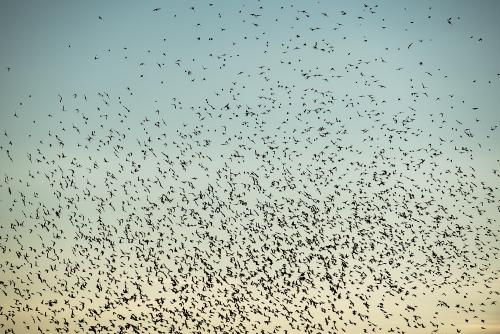 cga_2359-swarming-starlings-at-dusk-norway