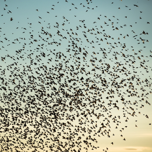 cga_2360-swarming-starlings-at-dusk-norway