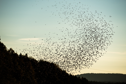 cga_2374-swarming-starlings-at-dusk-norway