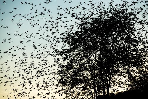 cga_2471-swarming-starlings-at-dusk-norway